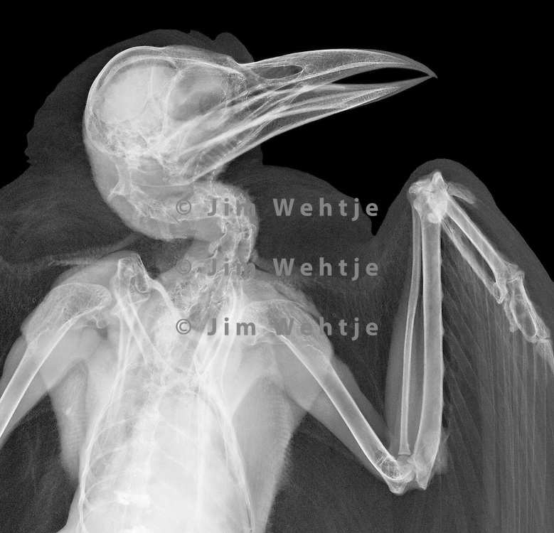 X-ray image of an American crow (white on black) by Jim Wehtje, specialist in x-ray art and design images.