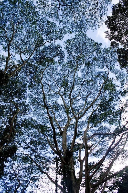 Giant Koa trees in Manoa Valley, Oahu, Hawaii