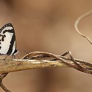 Caleta roxus  pothus, Lycaenidae, butterfly, butterflies, straight pierrot, insect