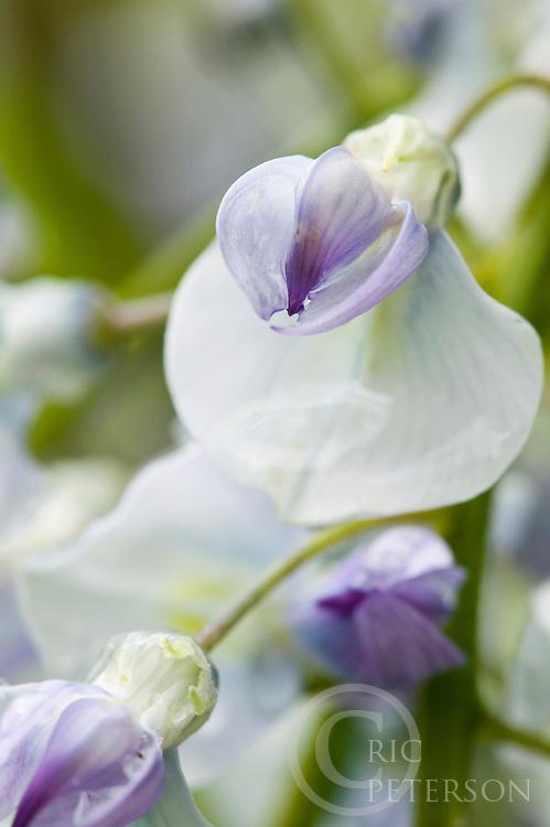 wisteria blossoms in spring