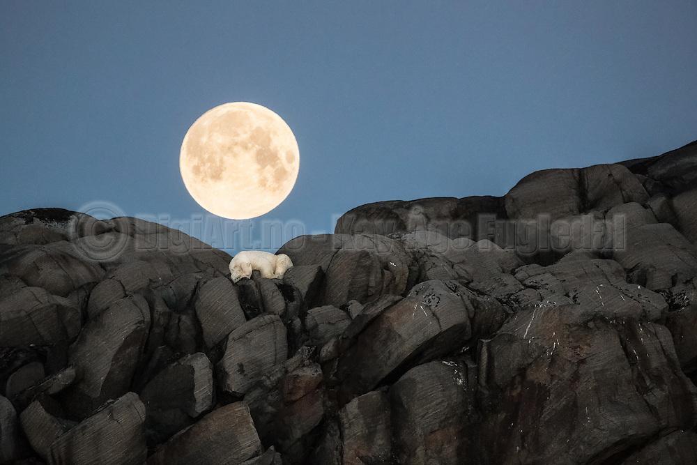 Polarbear sleaping on a rock under the full moon at Karl XII island, Svalbard (Spitzbergen) | Isbjørn som sover på et berg på Karl XII øyen, nord for Nordaustlandet, Svalbard.