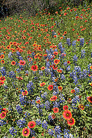 Bluebonnets and Indian Blankets, Llano County