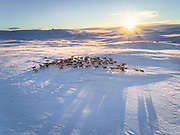 Wild caribou in iceland