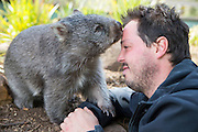 Common Wombat <br /> Vombatus ursinus<br /> Orphaned wombat named Tina (mother was hit by car) with Greg Irons, Sanctuary Director. Tina will be released to the wild. <br /> Bonorong Wildlife Sanctuary, Tasmania, Australia<br /> *Captive- rescued and in rehabilitation program