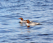 In June of 2008, I observed this pair of female Common Mergansers cruising the surface of South Manistique Lake in Curtis, Michigan. Mergansers are strikingly beautiful ducks, but are far less commonly seen than Mallards. Like the Mallard, the male Common Merganser is totally different in appearance from the female.