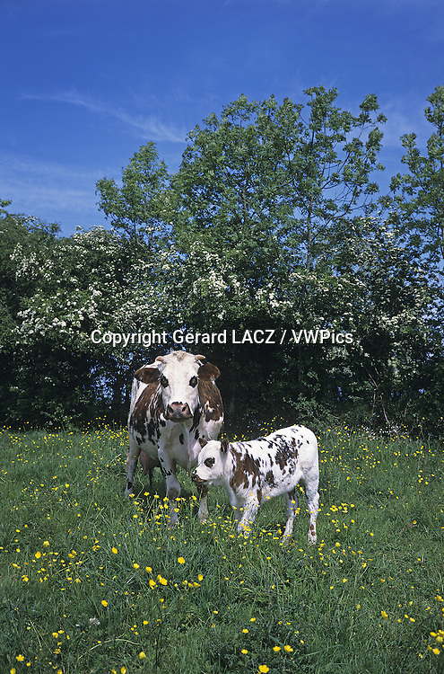 Normandy Cow, Domestic Cattle, Mother and Calf, Normandy