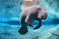 Florida manatee, Trichechus manatus latirostris, a subspecies of the West Indian manatee, endangered. Series of a mature adult male manatee with scars resting and warming himself over a large springhead. An adult male manatee floats with perfect buoyancy over a large spring. His face, snout and whiskers and prominent. Tranquil warm blue freshwater and rainbow sun rays enhance the peaceful scene  Horizontal orientation with blue water, reflection and rainbow sun rays. Three Sisters Springs, Crystal River National Wildlife Refuge, Kings Bay, Crystal River, Citrus County, Florida USA. License on Getty Images http://www.gettyimages.com/Search/Search.aspx?assettype=image&family=creative&artist=Carol+Grant