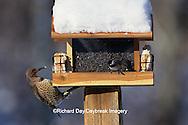 00585-00306 Northern Flicker, female & Carolina Chickadee at feeder Marion Co.   IL