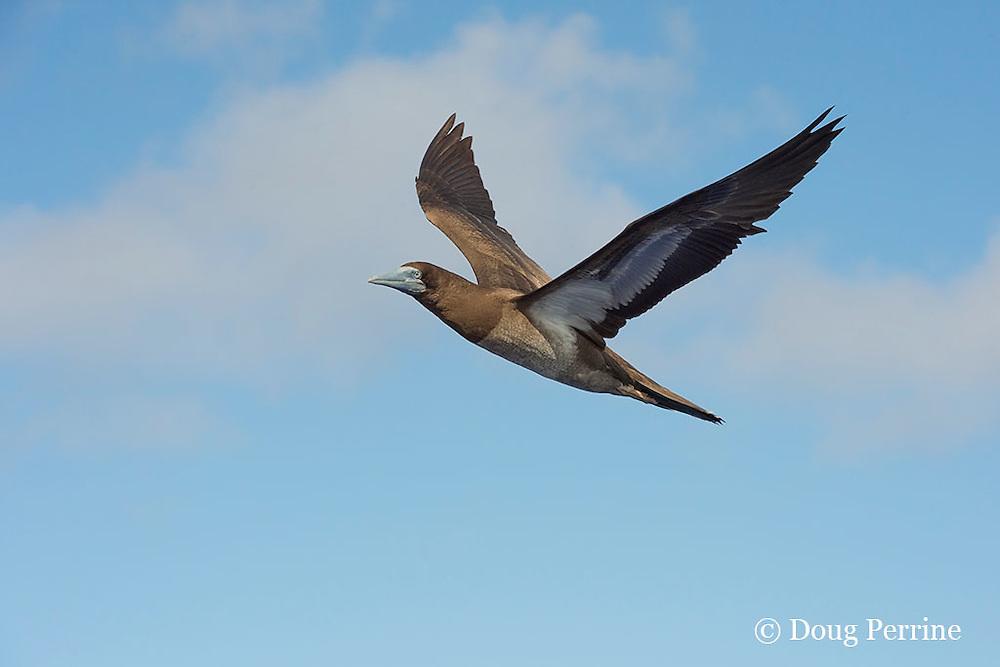 brown booby, Sula leucogaster, Vava'u, Kingdom of Tonga, South Pacific