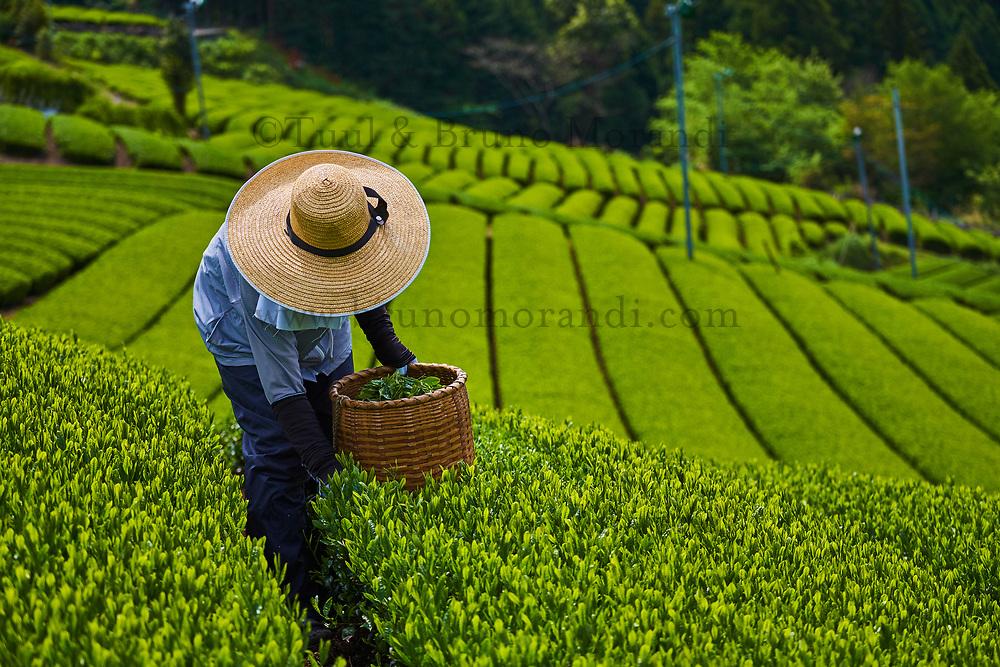 Japon, île de Honshu, région de Shizuoka, champs de thé, cueillette // Japan, Honshu, Shizuoka, tea fields, tea picking