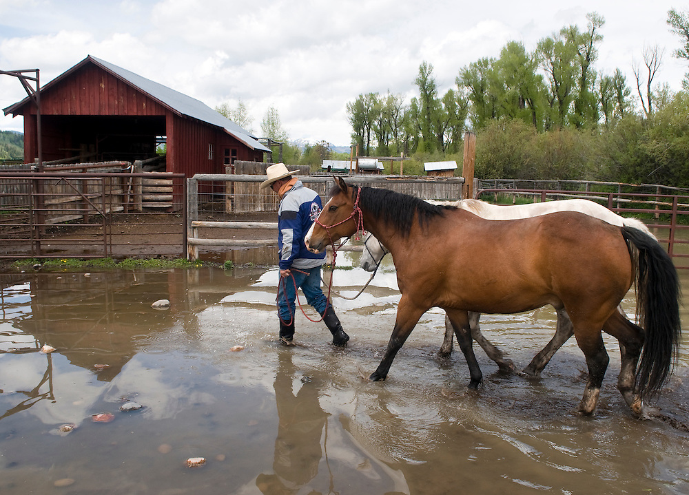 "NEWS&GUIDE PHOTO / PRICE CHAMBERS.Ranch Foreman Scott Putnam leads his horses Joker and Dick through a flooded coral at the Sewell Ranch on Tuesday as the Snake River threatens to spill over its banks. ""I've never seen the river that high,"" said Putnam who has been working on the cattle ranch 13 years. ""Normally this time of year these trails are dusty."" Flash flood warnings were issued when snow melt began combining with rain in the valley."