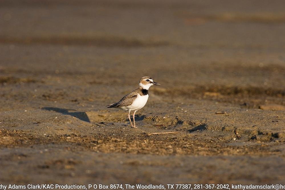 Wilson's plover, Bolivar Flats, Texas.  May 2005