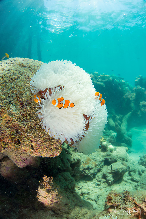 Clownfish & Anenome
