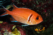 Blackbar Soldierfish (Myripristis jacobus)<br /> BONAIRE, Netherlands Antilles, Caribbean<br /> HABITAT & DISTRIBUTION: Dark recesses<br /> Florida, Bahamas, Caribbean, Bermuda, Gulf of Mexico south to Brazil & East Atlantic