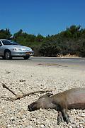 Israel, Wild boar Sus scrofa, road kill