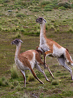 Guanacos mating in Torres del Paine national park in Patagonia, Chile
