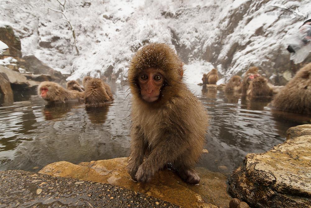 A baby snow monkey on the edge of a hot spring (Japanese macaque, Macaca fuscata). Jigokudani Yaen-Koen near Shibu Onsen, Japan.