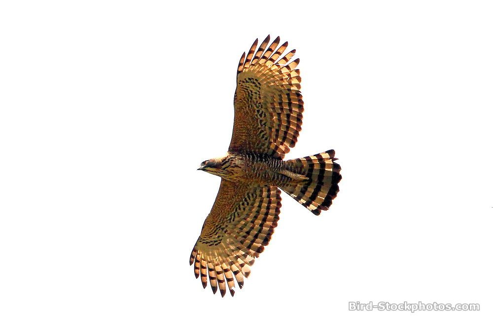 Mountain Hawk-Eagle, Nisaetus nipalensis, Bhutan, by Markus Lilje