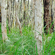 Paperbark forest on Fraser Island, Queensland, Australia. Fraser Islands is a national park.