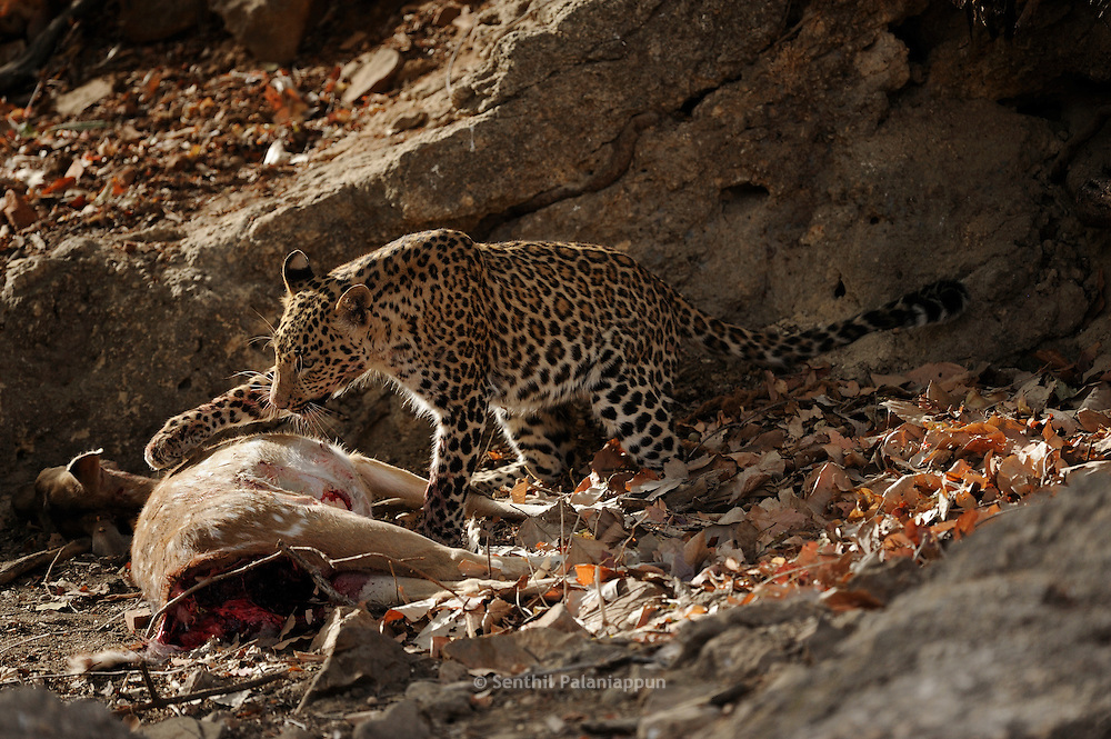 Leopard (Panthera pardus) with Sambar deer kill, Ranthambhore, India
