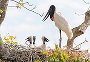 Jabiru stork (Jabiru mycteria) with three chicks in the nest. Araras Ecolodge, Pantanal, Brazil.