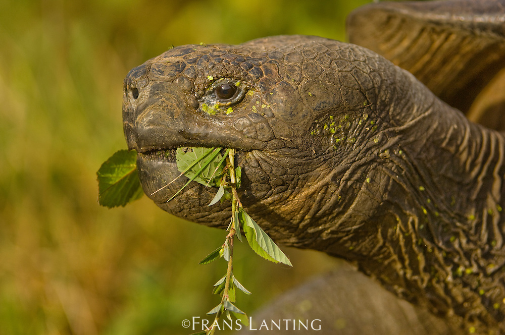 Galapagos giant tortoise eating foliage, Chelonoidis nigra, Floreana Island, Galapagos Islands