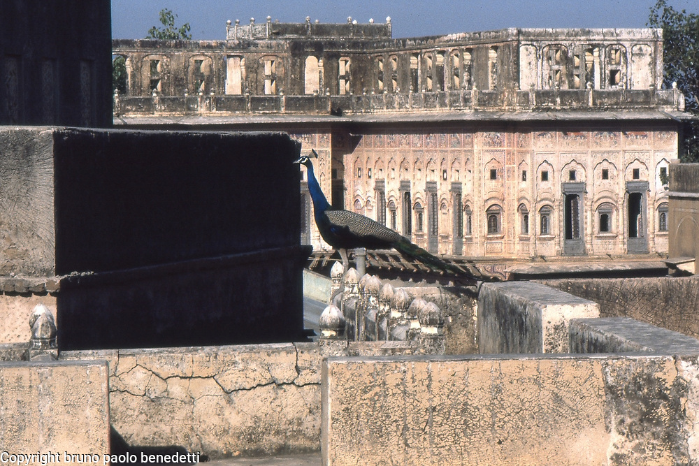 peacock on roof of old house in Mandawa in India with view on ruins of ancients houses