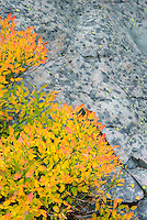 Sub-alpine foliage dispalying fall color in the North Cascades, Washington USA
