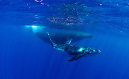 Humpback Whale, (Megaptera novaeangliae), french polynesia, moorea, thaiti, mother with cub swimming together, baby humpback