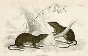 'Oared Shrew - Sorex remiger? - Possibly varient specimens of the Water Shrew - Sorex fodiens . Hand-coloured engraving from ''A History of British Quadrupeds'', Edinburgh, 1838.'