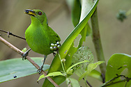 Female green honeycreeper, Osa Peninsula, Costa Rica