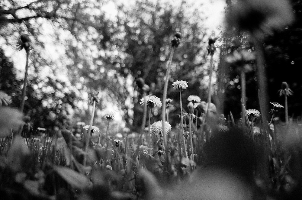 """""""Dandelion flowers at Pragues botanical garden""""  - photograped by Mario Bihari. Mario is a well known blind Roma musician originally from Slovakia living since he finished his studies in Prague, Czech Republic. Beside being a very talented multi-instrumentalist working as a professional musician he is also experimenting with photography as a another way to express himself."""