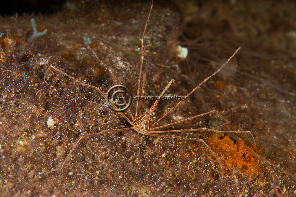 Arrow Crab, Stenorhynchus seticornis (Herbst, 1788), and Sponge Brittle Star, Ophiothrix suensoni, Lütken, 1856, Grand Cayman