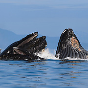 Close-up of a few of the humpback whales (Megaptera novaeangliae) comprising a group of whales engaged in cooperative bubble-net feeding. Photographed in Chatham Strait, near Juneau, Alaska,