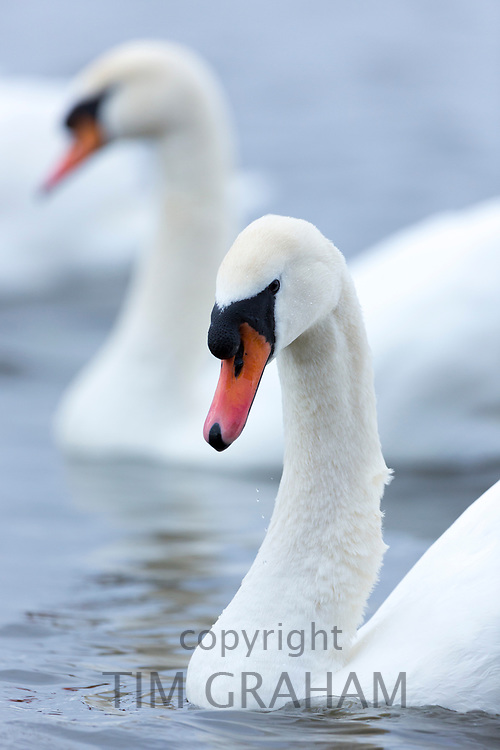 Mute Swan, Cygnus olor, at Welney Wetland Centre, Norfolk, UK