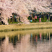 People along the edge of the Tidal Basin under the Cherry Blossoms. The Yoshino Cherry Blossom trees lining the Tidal Basin in Washington DC bloom each early spring. Some of the original trees from the original planting 100 years ago (in 2012) are still alive and flowering. Because of heatwave conditions extending across much of the North American continent and an unusually warm winter in the Washington DC region, the 2012 peak bloom came earlier than usual.