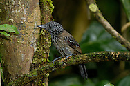 The Black-hooded Antshrike is common in the rainforest; Corcovado, Costa Rica