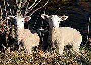 Two lambs in field