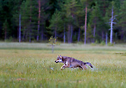 Grey Wolf (Canis lupus lupus) running. Finland, August 2015.