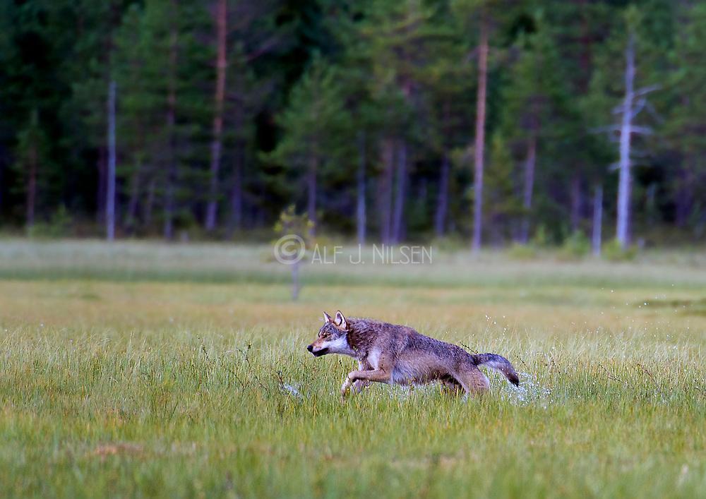 Grey Wolf (Canis lupus lupus) running. Finland, August 2015.