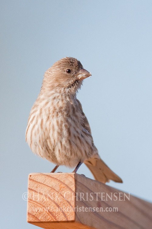 A house finch perches on the top of a fence, its beak covered with food