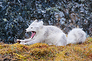 Arctic fox on the tundra. Svalbard 2012.
