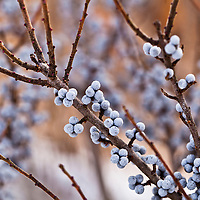 The light blue berries of the Bayberry in winter (Myrica pensylvanica)