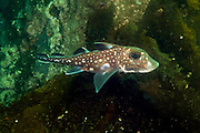 A Chimaera, or ratfish, Hydrolagus colliei, swims in a shallow bay in God's Pocket Provincial Park offshore Vancouver Island, British Columbia, Canada
