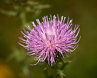 Thistle Flower. Image taken with a Nikon D200 camera and 200 mm f/4 macro lens (ISO 100, 200 mm, f/4.2, 1/2000 sec)