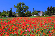Europe, Italy, Tuscany, Toscana,Arezzo, poppy fields in bloom