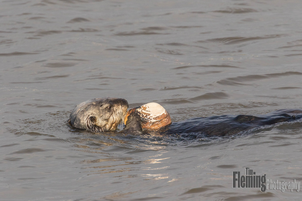 Sea Otters dig deep into underwater mud to catch clams. They have a pouch under each foreleg to store harvested food and a rock that is used to break open the shells.