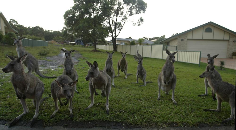 a group of kangaroos
