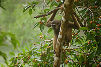 Bornean White-bearded Gibbon (Hylobates albibarbis) in the canopy of a strangler fig (Ficus dubia) searching for ripe figs.