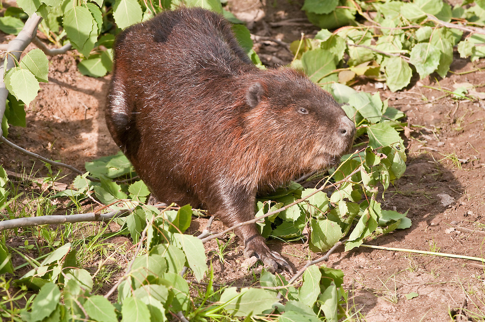 North American beaver, Castor canadensis, native to North America
